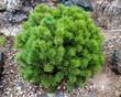 Дерево Сосна горная (Сосна стланиковая европейская) Мини Мопс, высаженное в рокарии
