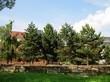 Крупномерные хвойные деревья Сосна черная австрийская в парке