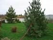 Крупномерное дерево Сосна сибирская кедровая (Сибирский кедр) посаженное на участке