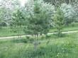 Деревья Сосна сибирская кедровая (Сибирский кедр) высаженные в парке