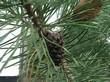 Хвоя и шишка дерева Сосна обыкновенная
