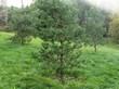 Деревья Сосна обыкновенная в городском парке