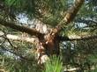 Кора, ветви, ствол хвойного дерева Сосна обыкновенная