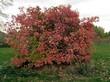 Крупномерный кустарник Калина обыкновенная осенью