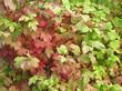Осенняя листва кустарника Калина обыкновенная