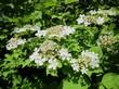 Цветки кустарника Калина обыкновенная весной