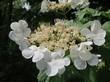 Весеннее соцветие на кустарнике Калина обыкновенная