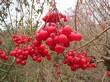 Ягоды кустарника Калина обыкновенная поздней осенью
