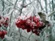 Плоды Калины обыкновенной, укрытые снегом зимой