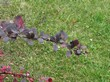Ягоды и листья кустарника Барбарис оттавский Суперба