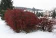 Кустарник Барбарис Тунберга зимой