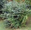 Крупномерный декоративный лиственный кустарник Барбарис обыкновенный