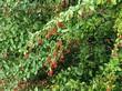 Ветви и ягоды кустарника Барбарис обыкновенный