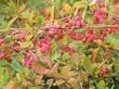 Спелые осенние плоды (ягоды) на кустарнике Барбарис обыкновенный