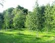 Березовая роща из деревьев-крупномеров Берёза повислая (Берёза бородавчатая, Берёза обыкновенная)