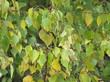 Листья дерева Берёза повислая (Берёза бородавчатая, Берёза обыкновенная)