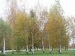 Крупномерные лиственные деревья Берёза повислая (Берёза бородавчатая, Берёза обыкновенная) в парке