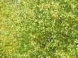 Листва на кронах деревьев Берёза повислая (Берёза бородавчатая, Берёза обыкновенная)