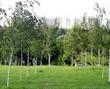 Аллея из листопадных крупномерных деревьев Берёза повислая (Берёза бородавчатая, Берёза обыкновенная)