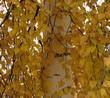 Желтая осенняя листва дерева Берёза повислая (Берёза бородавчатая, Берёза обыкновенная)
