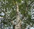 Ствол, ветви и крона взрослого дерева Берёза повислая (Берёза бородавчатая, Берёза обыкновенная)