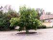 Крупномерное дерево Катальпа бигнониевидная на площади