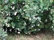 Кустарник Снежноягодник белый (Снежноягодник кистистый) в парке