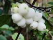 Плоды (ягоды) лиственного кустарника Снежноягодник белый (Снежноягодник кистистый)