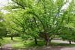 Крупномерное дерево Багрянник японский в ландшафтном парке