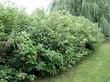 Живая изгородь из лиственного кустарника Дёрен белый (Кизил белый, Свидина белая)
