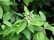 Плоды и листья декоративного кустарника Дёрен белый (Кизил белый, Свидина белая)