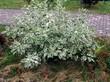 Лиственный декоративный кустарник Дёрен белый Элегантиссима у дорожки
