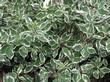 Листва декоративного лиственного кустарника Дёрен белый Элегантиссима