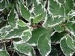 Листья декоративного кустарника Дёрен белый Элегантиссима