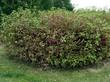 Крупномерный декоративный лиственный кустарник Дёрен белый Сибирика