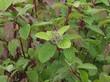 Листья декоративного листопадного кустарника Дёрен белый Сибирика