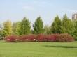 Крупномеры кустарника Дерен белый Сибирика в городском парке