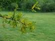 Ветка лиственного кустарника Жёлтая акация (Карагана древовидная)