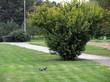 Декоративный листопадный кустарник-крупномер Жёлтая акация (Карагана древовидная) в парке