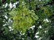 Осенняя листва декоративного листопадного кустарника Жёлтая акация (Карагана древовидная)