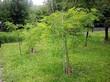 Дерево Белая акация (Робиния лжеакация, Робиния обыкновенная) в городском парке