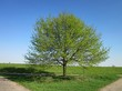Крупномерное лиственное дерево Дуб черешчатый (Дуб обыкновенный)