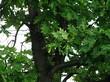 Ствол, ветви и листья дерева Дуб черешчатый (Дуб обыкновенный)