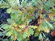 Ветви растения Дуб черешчатый (Дуб обыкновенный) с осенними желтеющими листьями