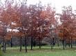 Дубрава из крупномерных лиственных деревьев Дуб черешчатый (Дуб обыкновенный)
