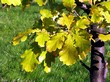 Желтые осенние дубовые листья дерева Дуб черешчатый (Дуб обыкновенный)