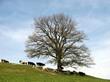 Крупномерное лиственное дерево Дуб черешчатый (Дуб обыкновенный) на склоне весной