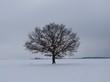 Крупномерное листопадное дерево Дуб черешчатый (Дуб обыкновенный) на территории зимой