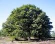 Крупномерное лиственное дерево Дуб черешчатый (Дуб обыкновенный) летом в саду