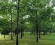 Дубрава из крупномерных лиственных деревьев Дуб красный (Дуб остролистный)
